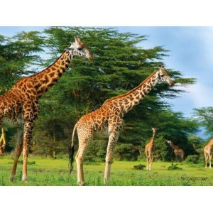 1800160165-buitenschilderij-africa-wild-giraffe-pb-collection-70x130