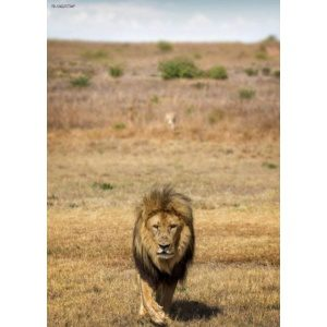 1800162166-buitenschilderij-africa-wild-lion-pb-collection-70x130